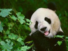 Kina: Populacija divljih pandi u porastu! - PODRUMARENJE
