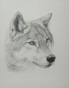 Wolf Drawings Step by Step | How to Draw A Grey Wolf Step By Step