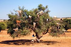 Argan Goats climbing on argan trees