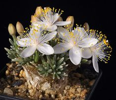 Avonia quinaria ssp. quinaria - more info http://cactiguide.com/forum/viewtopic.php?t=8151