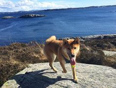 #happydog #happiness #shiba #inu #shibainu #shibagirl #shibalovers #instashiba #piesel #dog #dogy #trip #mountains #sea #sunnyday #sunday #redshiba #pictureoftheday #dogofinstagram #ruffwear