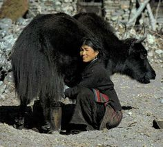 The milk of a yak together with some salt and tea are churned to make butter tea.