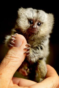Cute animal pictures: 100 of the cutest animals! - Cute animal pictures: 100 of the cutest animals! Marmoset Monkey, Pygmy Marmoset, Cute Creatures, Beautiful Creatures, Animals Beautiful, Cute Baby Animals, Animals And Pets, Funny Animals, Animals Photos