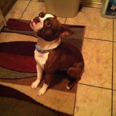This is my Randy, Boston Terrier