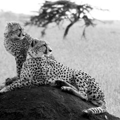 Cheetah mother with cub on a termite mound. Photo taken in Masai Mara, Kenya Cheetahs, African Animals, Kenya, Cubs, Sculpting, Sculptures, Sculpture, Bear Cubs, Cheetah