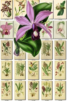 ORCHIDS-23 flowers Collection of 291 vintage images Coelogyne Epidendrum pictures High resolution digital download printable Orchidaceae           data-share-from=listing        >           <span class=etsy-icon