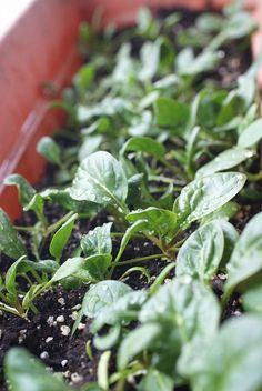 Grow Spinach Indoors in Winter