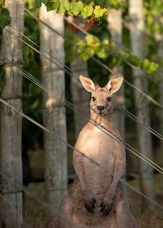 *******DIGITAL INSTANT DOWNLOAD*******  This is an original photograph of a Kangaroo, taken by EVM Photography.  This file is available for