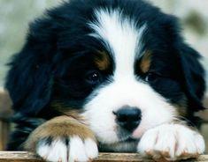 A Bernese Mountain Dog puppy. #BerneseMountainDog