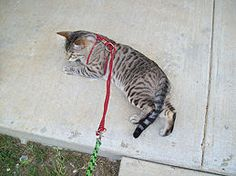 Make a Harness for Your Fat Cat - wikiHow