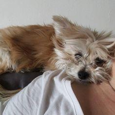 Jasper is like a parrot. He likes to be perched up on my shoulder.       #morkie #maltese #yorkie #morkiesofinstagram #dogsofinstagram #instapet #instadog #instafollow #dog #dogs #pet #parrot #puppy #puppylove #iflmdog #ilovemorkies #cutie #adorable #jasperthemorkie by jasperthemorkie http://www.australiaunwrapped.com/