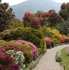 Villa Carlotta, Lake Como.  You could stand UNDER the azaleas and we did when it rained!