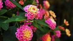 Lantana Camara, Flowers, Plants, Beautiful, Winter Time, Spring, Plant, Royal Icing Flowers, Flower