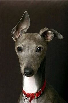 Italian Greyhound, I want one