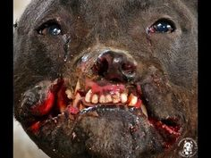 Smiley, the pit bull girl & her rescued friends | Pet Expenses - YouCaring.com