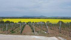 Flowering rapeseed in the valley of Žitava