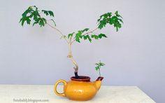 Darmowe zdjęcia na tapety, e-kartki, sentencje... Free Photos : Moje bonsai, klon polny w czajniku  Wallpaper Full...