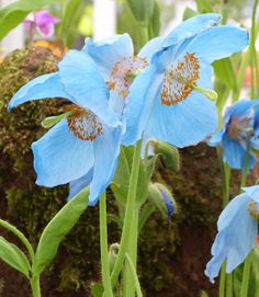 Weird and Wonderful Plants from ChelseAa Flower Show: Himalayan blue poppies