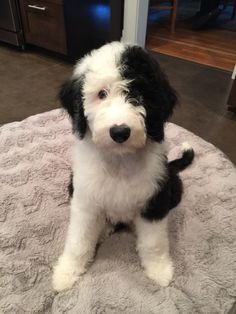Looks just like Saylor the Sheepadoodle! Cute Puppies, Cute Dogs, Dogs And Puppies, Doggies, Animals And Pets, Baby Animals, Cute Animals, Beautiful Dogs, Animals Beautiful