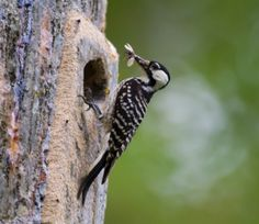 Why we should be thankful for the red-cockaded woodpecker and other heroically saved species.