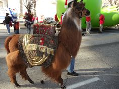 "Llama Sundown Something Special ""Spike"" wearing a costume that I made. He is walking in the Atlanta Christmas Parade. He is owned by Deb Logan."