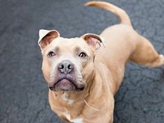 Manhattan Center   NIKKO - A0841088 *** RETURNED AS STRAY ON 12/22/13 *** HELPER DOG ***  NEUTERED MALE, TAN / WHITE, PIT BULL MIX, 5 yrs STRAY - STRAY WAIT, HOLD FOR ID Reason STRAY  Intake condition NONE Intake Date 12/22/2013, From NY 10462, DueOut Date 12/25/2013 https://www.facebook.com/photo.php?fbid=748621118484103&set=a.617938651552351.1073741868.152876678058553&type=3&theater