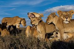 Older cubs like these Vumbi youngsters are raised together as a creche, or nursery group. Pride females, united in the cause of rearing a generation, nurse and groom their own and others' offspring. (© Michael Nichols/National Geographic)