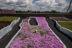 Garden on the rooftop: Copernicus Science Centre, Thymus serpyllum