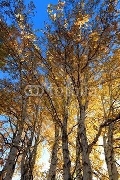 Fototapete Birkenwald - sunlight behind birch tree in autumn