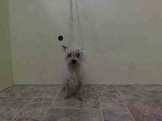 SAFE --- MEGA SUPER URGENT 11/27/14 Manhattan Center FLUFFY - A1021760 *** SUSPECTED ENDOCRINE DISEASE *** FEMALE, WHITE, MALTESE MIX, 9 yrs OWNER SUR - EVALUATE, NO HOLD Reason LLORDPRIVA Intake condition GERIATRIC Intake Date 11/26/2014, From NY 11433, DueOut Date 11/26/2014, https://www.facebook.com/Urgentdeathrowdogs/photos/pb.152876678058553.-2207520000.1417221356./912465135433033/?type=3&theater