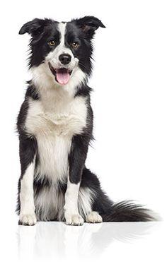 Border Collie - Tout savoir sur le chiot et chien Border Collie.