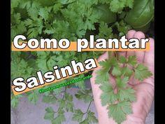 Como Plantar Salsinha, Cultive Temperos Orgânicos em Casa - YouTube