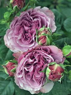 English Roses 'Lavender Ice' None to mild fragrance, Bushy, compact. Height of to to 50 cm) Can be used for container Love Rose, Pretty Flowers, Beautiful Roses, Beautiful Gardens, Rosen Beet, Rose Photos, English Roses, Dream Garden, Garden Inspiration