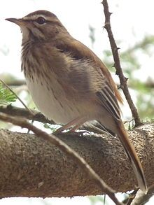 he White-browed Scrub Robin (Cercotrichas leucophrys), also known as the Red-backed Scrub-robin, is a species of bird in the Muscicapidae family. It is found in Angola, Botswana, Burundi, Republic of the Congo, Democratic Republic of the Congo, Djibouti, Ethiopia, Gabon, Kenya, Malawi, Mozambique, Namibia, Rwanda, Somalia, South Africa, Sudan, Swaziland, Tanzania, Uganda, Zambia, and Zimbabwe.
