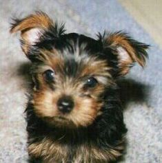 Yorkshire Terrier Dog Breed Information and Pictures, Yorkie #YorkshireTerrier