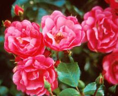 'Pink Flower Carpet' Rose is a great ground cover with it's spreading and short growth habit. Prolific bloomer spring to fall with red hips and glossy green foliage.
