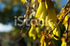 The New Zealand Kowhai Blossom in Soft Focus. Spring Images, Spring Photos, Golden Flower, Image Now, New Zealand, Royalty Free Stock Photos, Bloom, Photography, Photograph