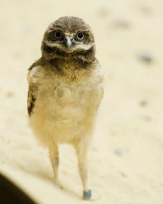 "A baby Burrowing Owl from the National Zoo. ""Burrowing Owls are one of the smallest owl species in North America. The average adult is 10 inches in length—slightly larger than an American Robin."""