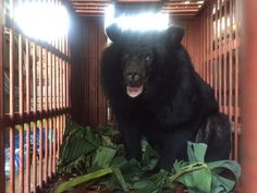 Bear Who Spent 12 Years In A Cage Is So Excited To Go To A Sanctuary