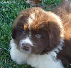brown n white newfoundland puppy | Products I Love | Pinterest