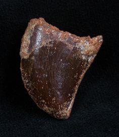 Baby Carcharodontosaurus Tooth