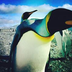 Another glorious #Frifotos, the weekly Twitter event during which people from around the world share their photos on a theme, all Friday long. Last theme – 'Colorful'   Colorful King Penguins, by @Andrew Evans
