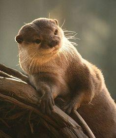 otter pin up