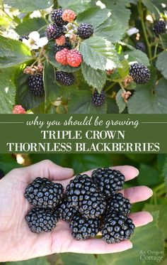 Landscape Garden Design 5 reasons to grow amazing Triple Crown Thornless Blackberries- just a few.Landscape Garden Design 5 reasons to grow amazing Triple Crown Thornless Blackberries- just a few Thornless Blackberries, Growing Blackberries, Blueberries, Black Raspberries, Fruit Garden, Edible Garden, Herbs Garden, Fruit Plants, Backyard Farming