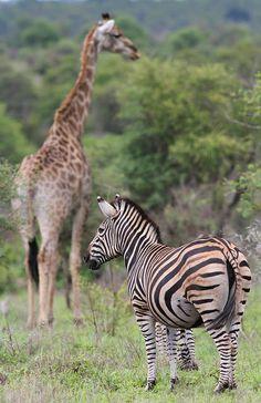 Zebra and giraffe at Kruger National Park by Derek Keats, via Flickr