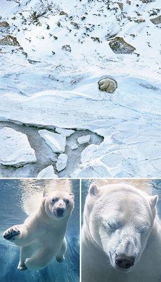 Polar Bear - Hewan Terancam Punah Yang Berhasil Diabadikan Oleh Fotografer