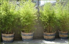 Use wine barrel planters to make a perfect bamboo screen .