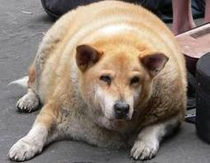 This is so sad.  Dogs become obese because their owners are too lazy to provide them with exercise.  Poor guy, I bet all he wants to do is get and run around :(