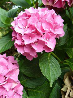 kwiaty, hortensja Hydrangea Macrophylla, Hydrangeas, Heaven, Delicate, Cottage, Rose, Garden, Flowers, Plants