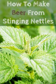 How To Make Beer From Stinging Nettles